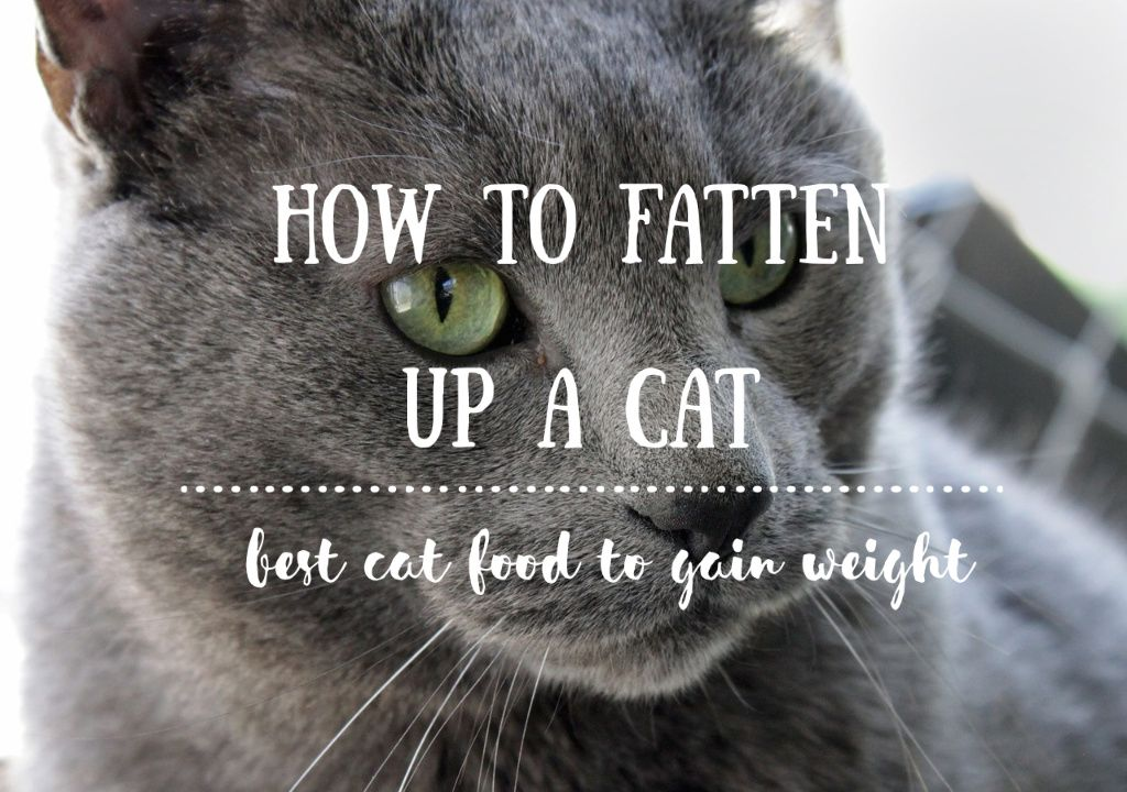 How to Fatten up a Cat Best Cat Food to Gain Weight {Dry