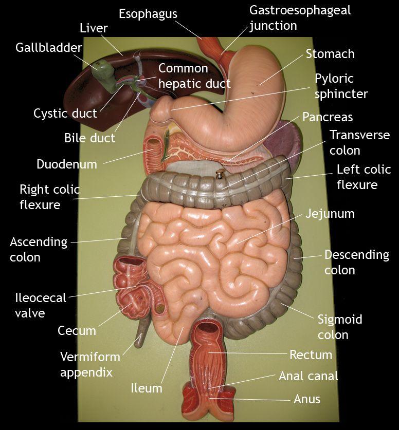 Image result for anus model | Study Time | Pinterest | Nursing notes ...