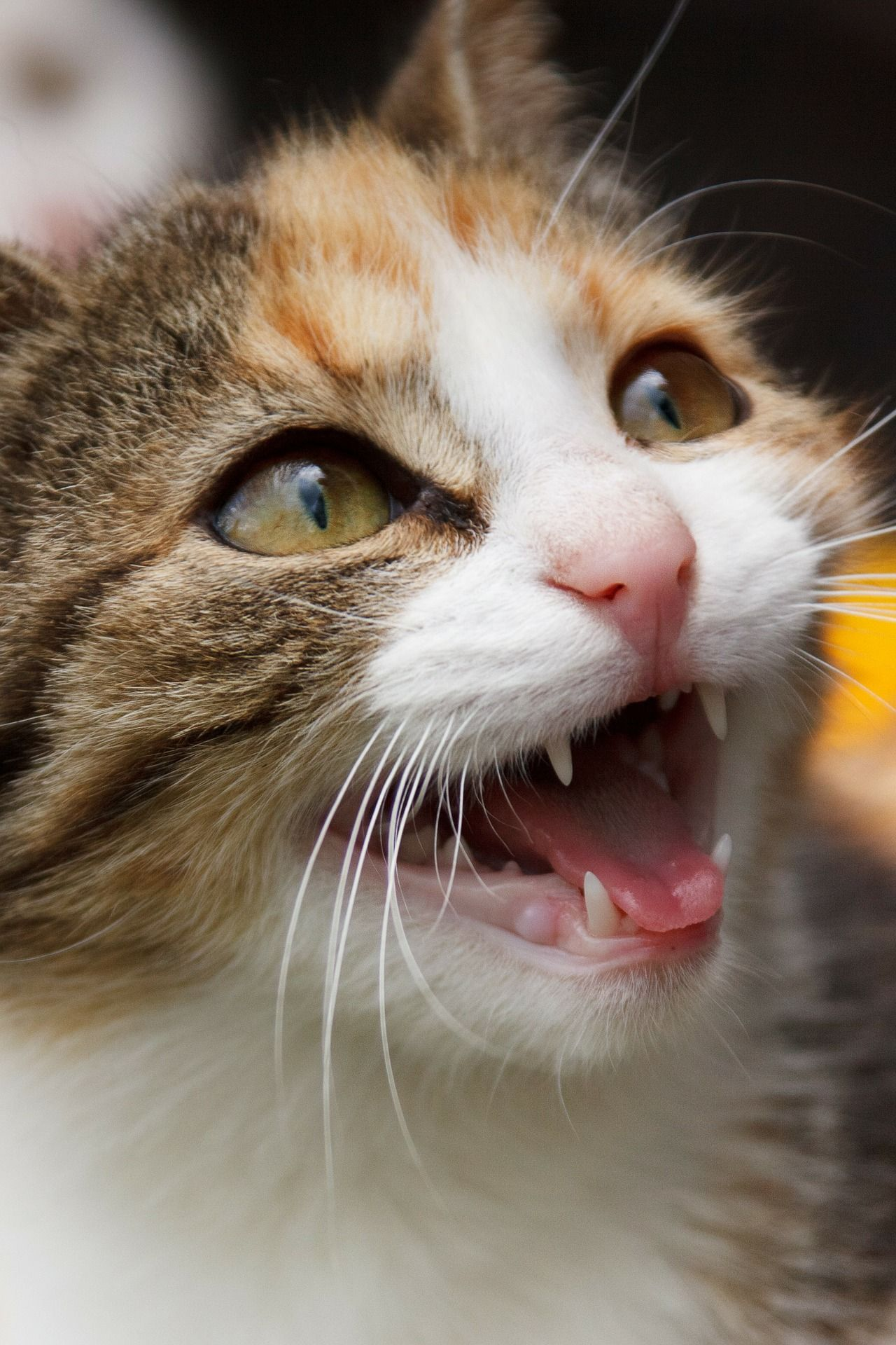 Why is my cat meowing so much? Pregnant cat, Kittens