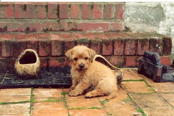 Norfolk Terrier Norfolk Terrier Terrier Dogs
