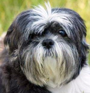 Shih Tzu Shih Tzu Love Pinterest Animal Pics Baby Animals And Dog