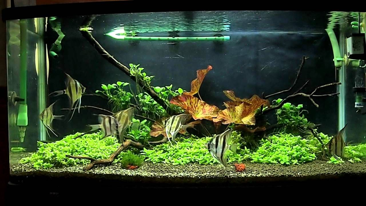 Beautiful freshwater angelfish tank google search for Planted tank fish