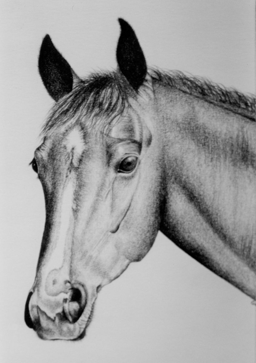 Prints For Sale Ccbc Ricky Horse Portrait Pencil Drawing