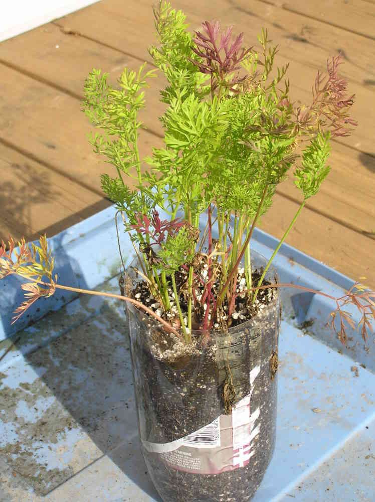 511 Best Container Gardening Ideas Images On Pinterest: Grow Carrots In A 2 Liter Soda Bottle. I Think My Kids