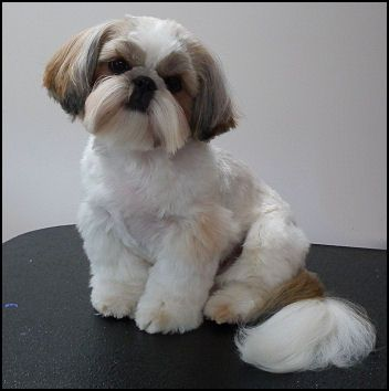 New Haircut 15 Months Old Shih Tzu Haircuts Shih Tzu Puppy