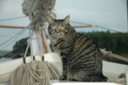Gussie Ships Cat Of The Mary Day Schooner Pet Travel - Cat dressed in tiny sailors outfit becomes captain of russian cruise ship