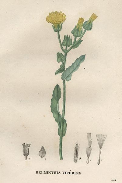 Helminthia echioides