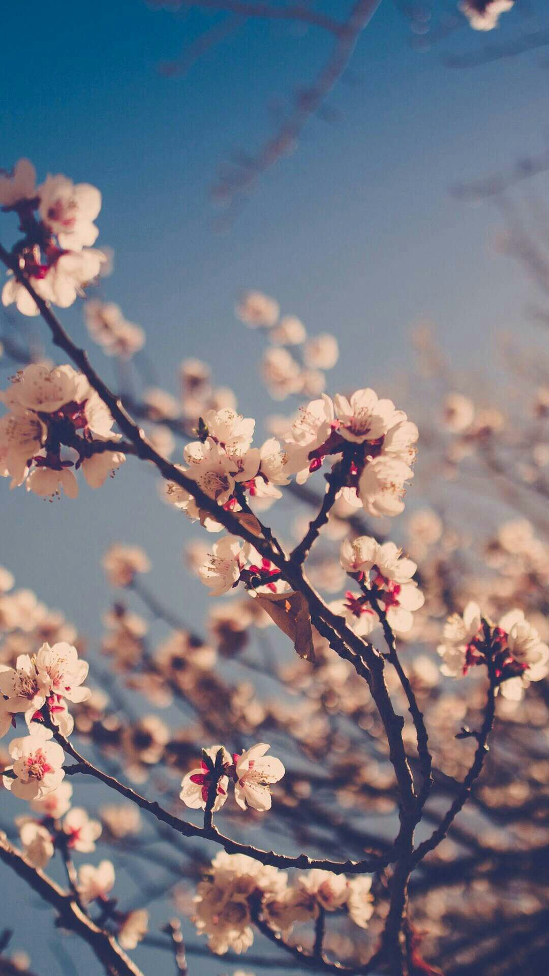 Cherry blossoms Spring wallpaper, Pink wallpaper iphone