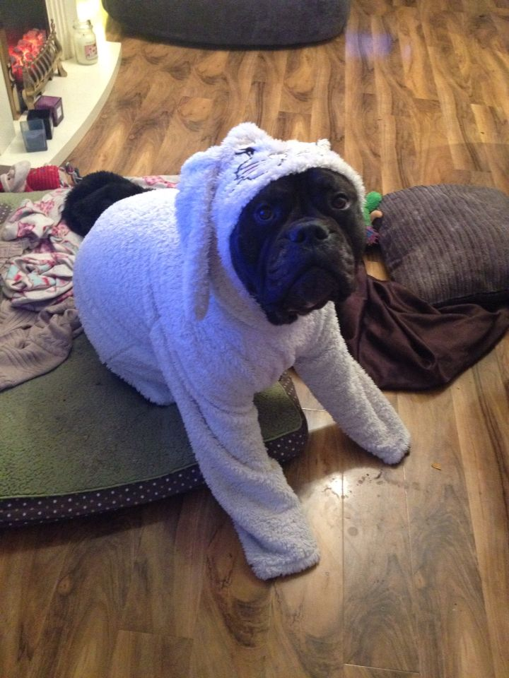 Henry my bullmastiff bunny ready for bed