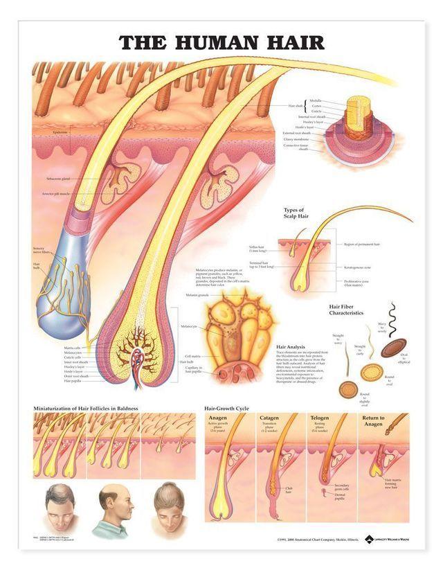 Internal Organs Of The Human Body Laminated Anatomical ...