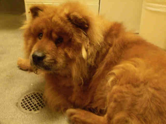 Meet Avery A Petfinder Adoptable Chow Chow Dog Upper Marlboro