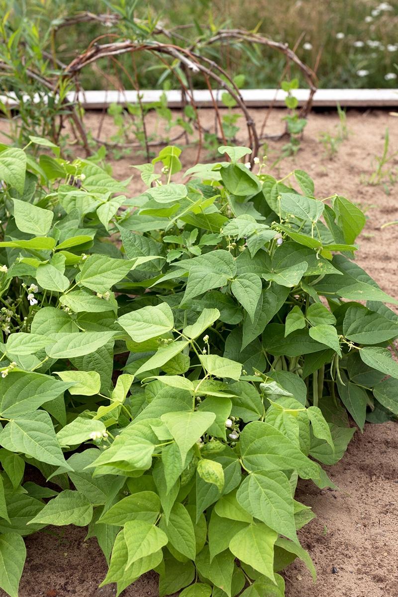 Bohnen Anpflanzen