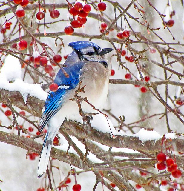 """Red, White & Blue""  Snow Jay by JacquiTnature on flickr."