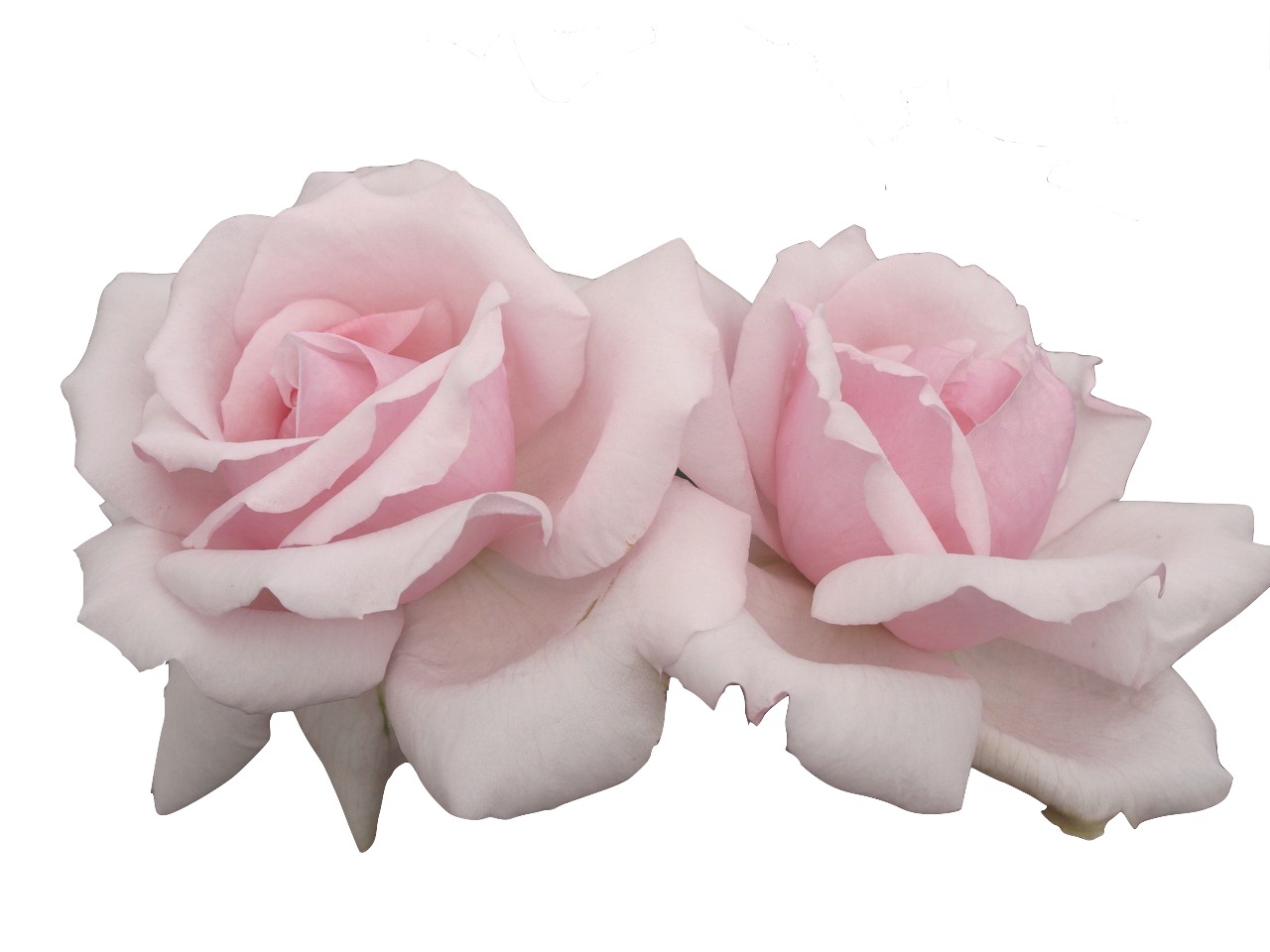 Pink Roses Transparent Flowers Pink Aesthetic Pink Roses