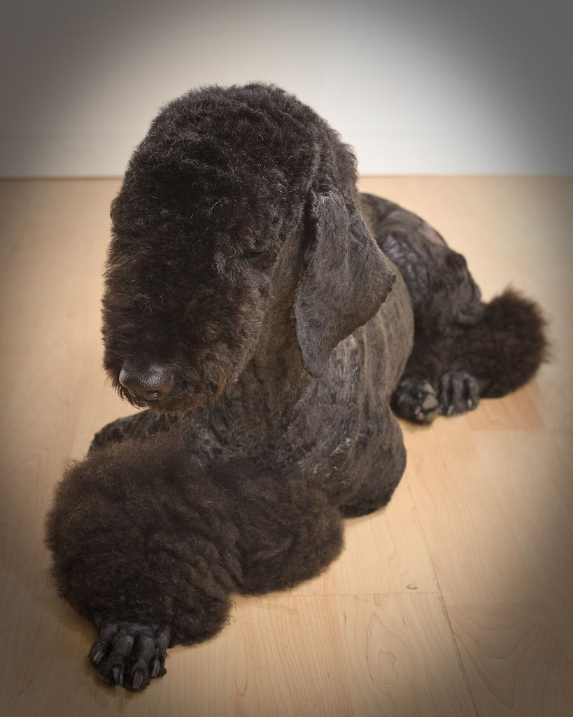 Standard poodle haircuts or of unless soft haircuts standard poodle - Standard Poodle Hair Is Cut Like A Bedlington Terrier