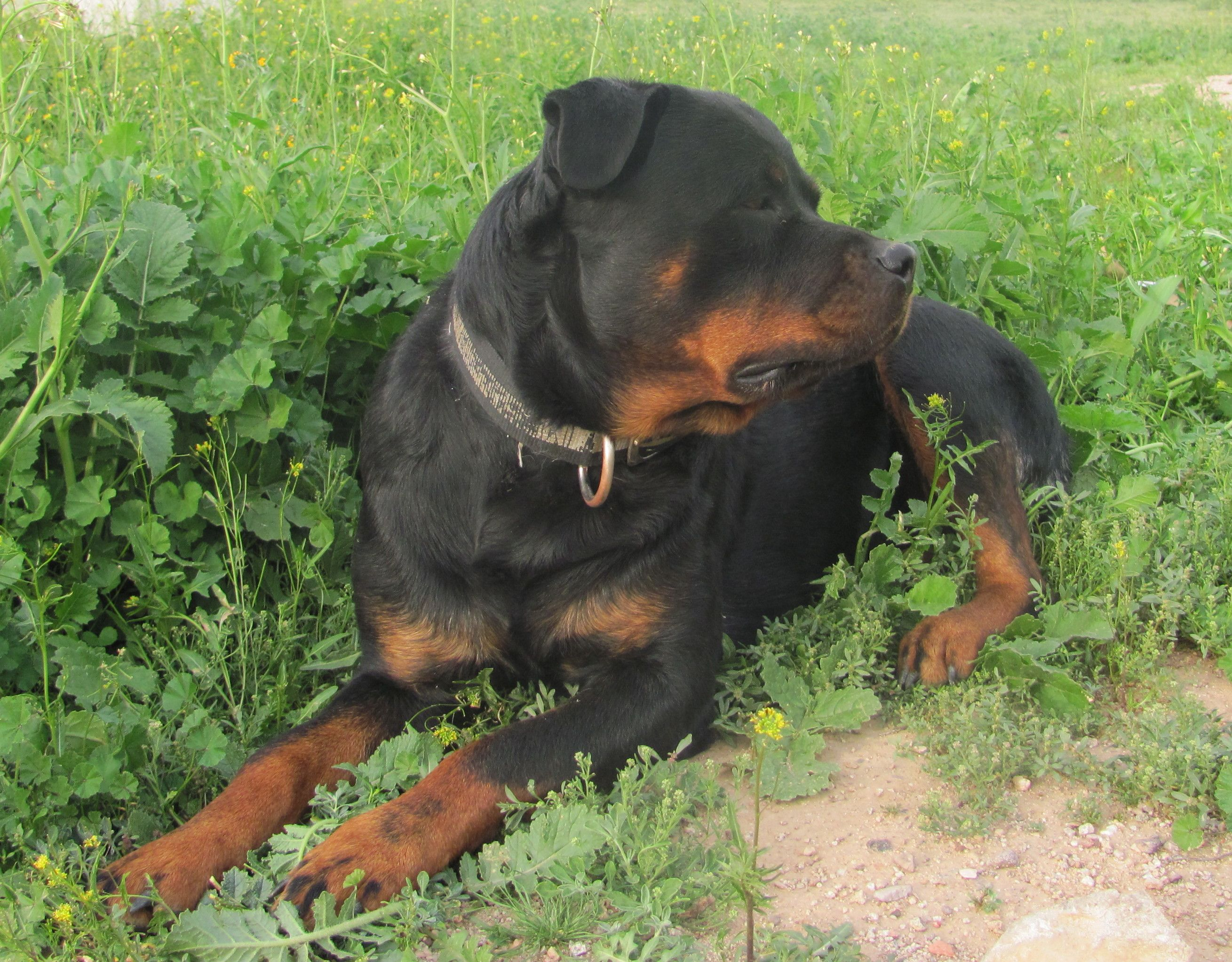 This is Bella our #1 rotti bitch She is Beautiful and is expecting anyday now