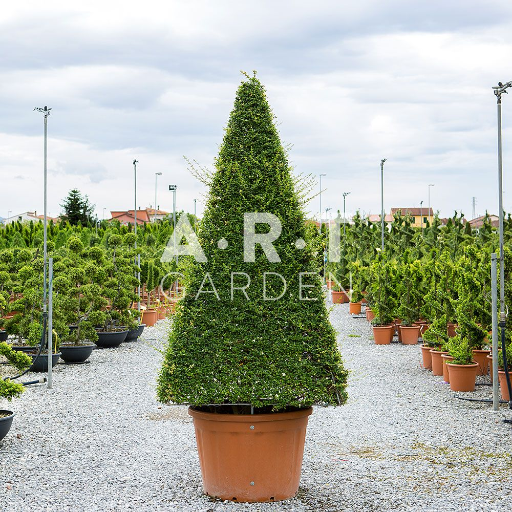 ART TOPIAIRE LIGUSTRUM CONE XXL TAILLE 280/300 CONTAINER 230 L | Art ...