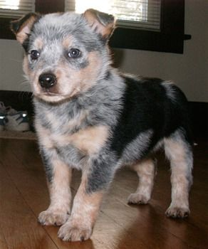 Australian Cattle Dog Puppies Hope You Re Doing Well From Your