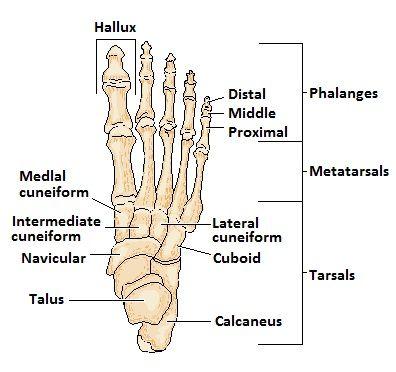 Foot Bones Chart Juveique27