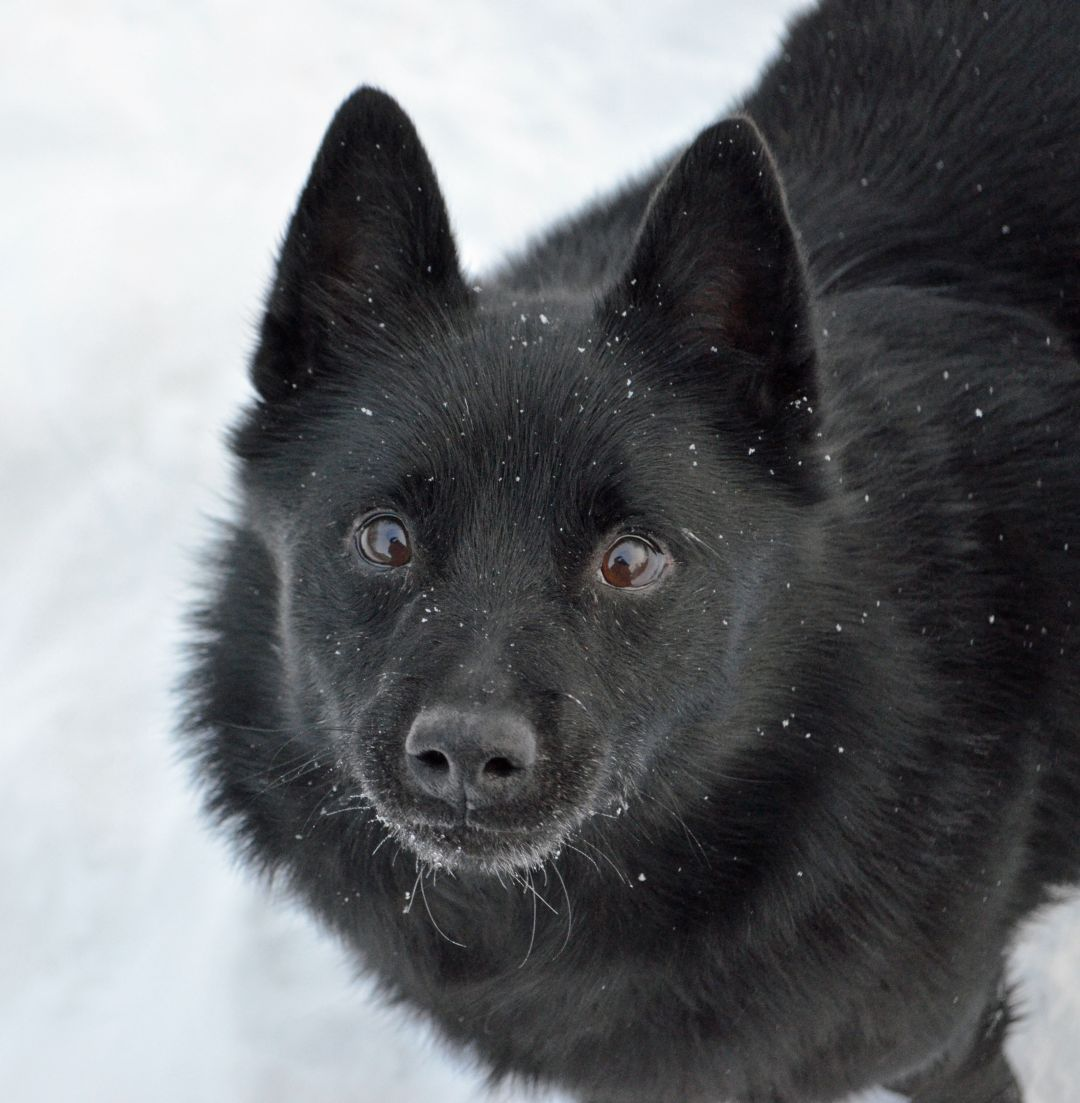 Adopt Gilligan On Schipperke Dog Schipperke Dogs