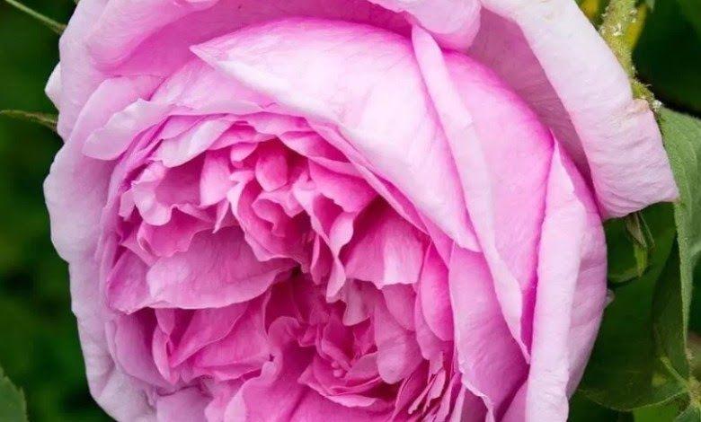 Gambar Wallpaper Bunga Yang Cantik Gambar Wallpaper Bunga Yang Cantik Jaman Dahulu Macam Macam Bunga Digunakan Untuk Men Bunga Gambar Bunga Wallpaper Bunga