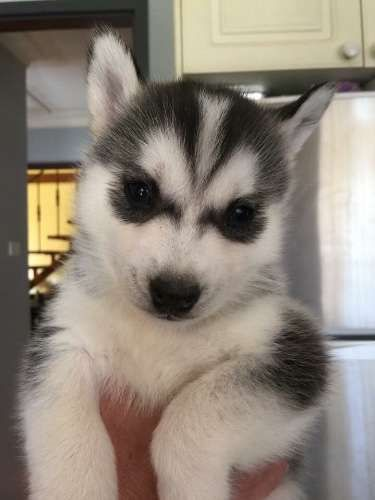 Pin By Lorraine Stovall On Husky Love Husky Puppy Puppies For