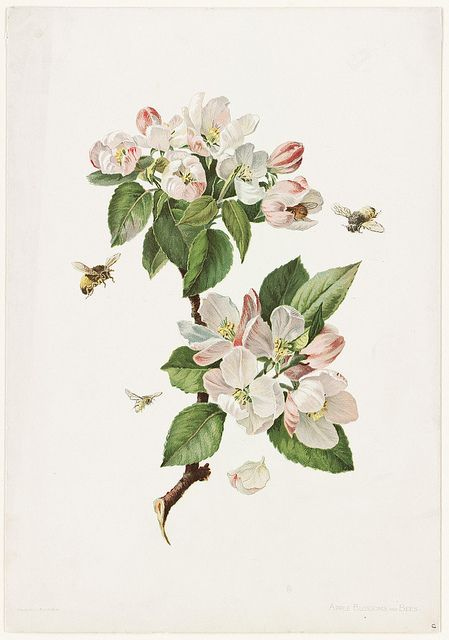 Apple Blossoms and Bees Blossoms art, Botanical painting