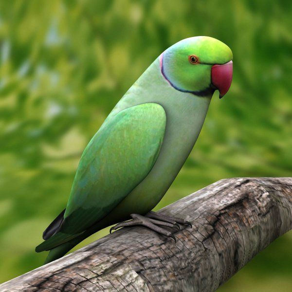 indian parrot bird hd wallpaper