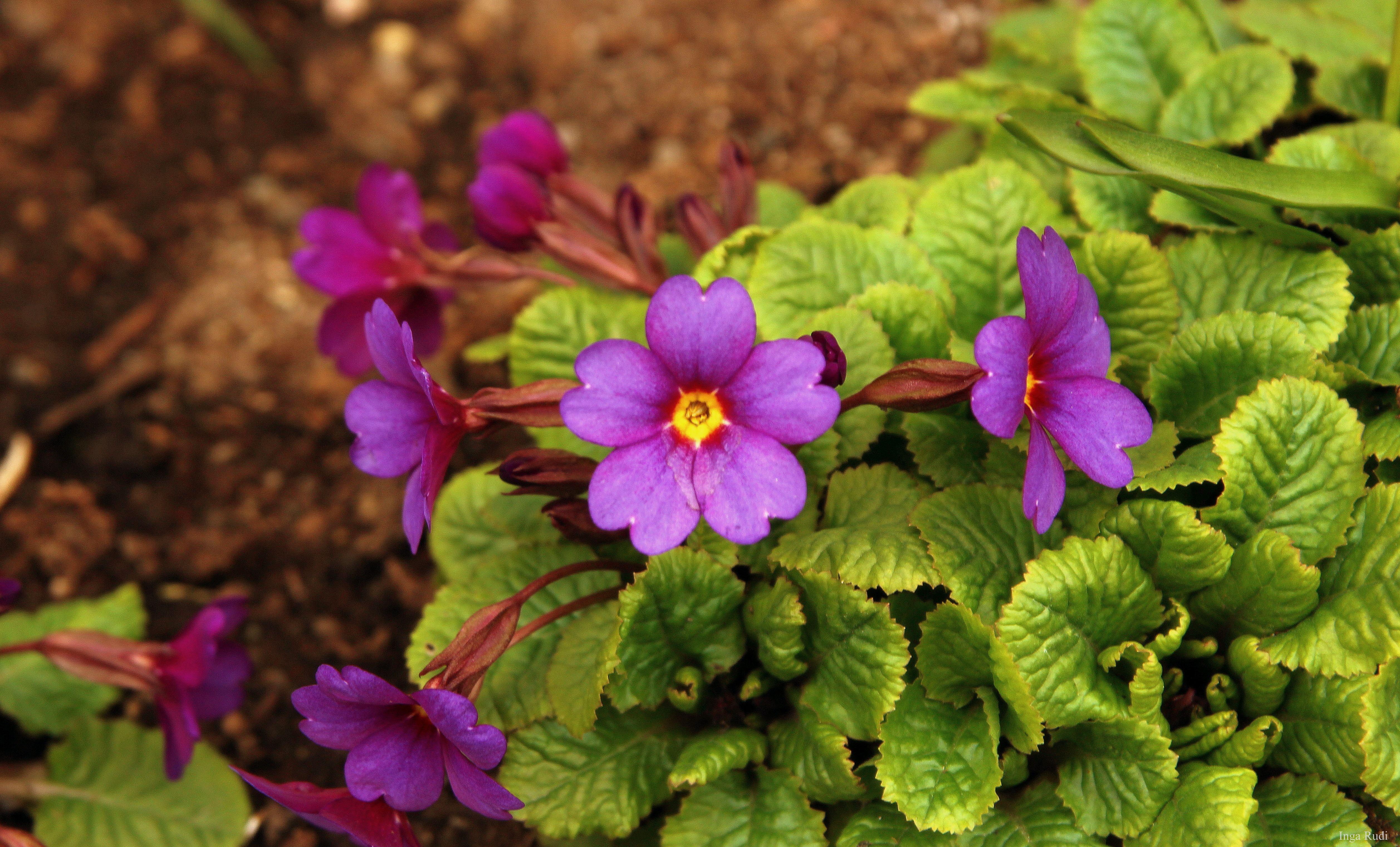 124366 Purple Spring Flowers Purple Spring Flowers Spring