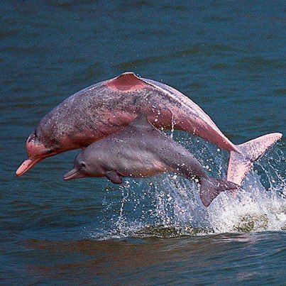 Very Endangered Rare Pink Fresh Water Dolphins Chinese White