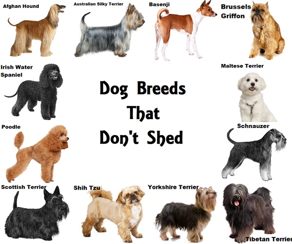 12 Dog Breeds That Don't Shed (With images) Dog breeds