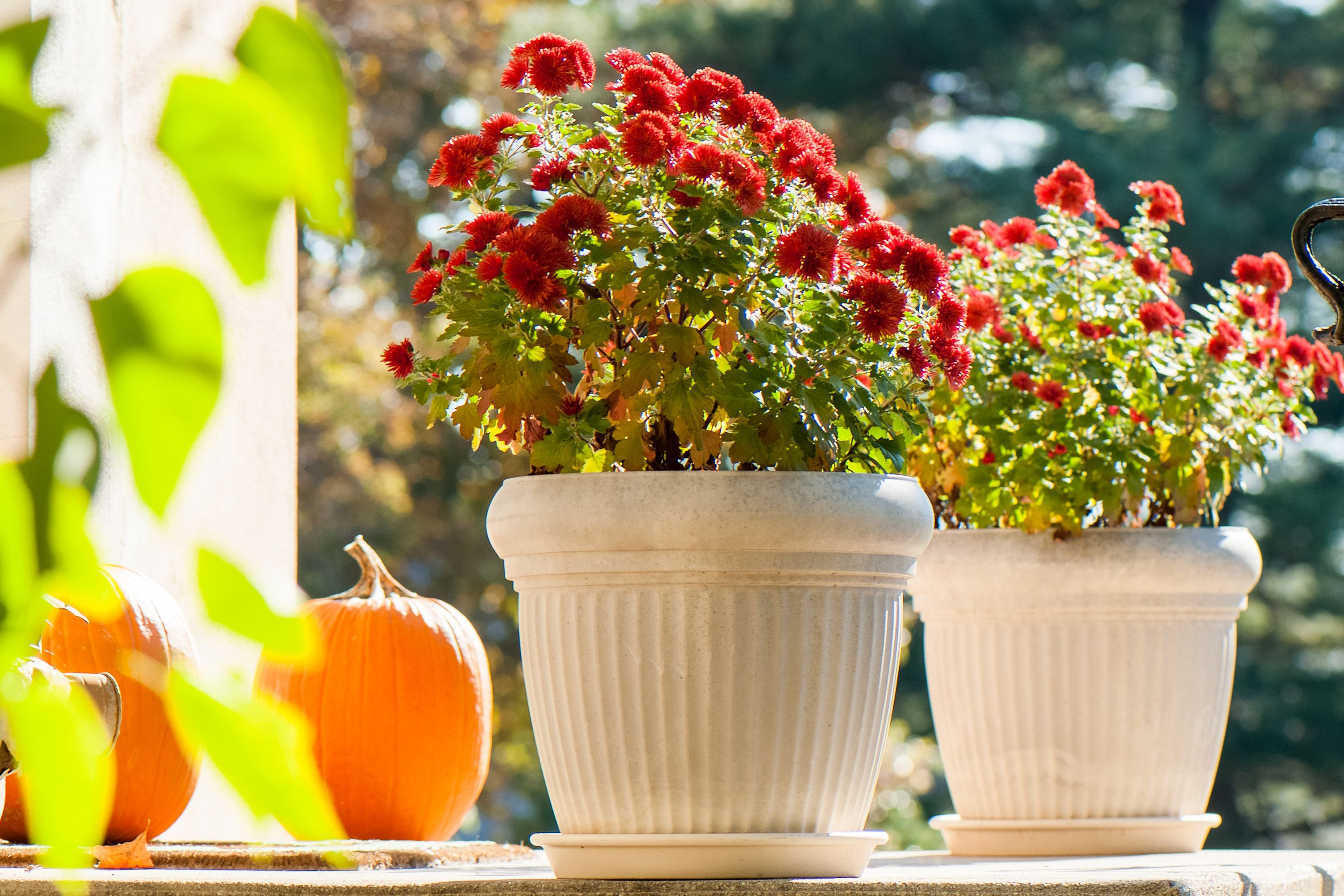 How to overwinter mums in pots hardy mums flower and gardens potted mums are usually treated as annual flowers because they cannot tolerate the cold conditions during the winter months most potted varieties are known izmirmasajfo