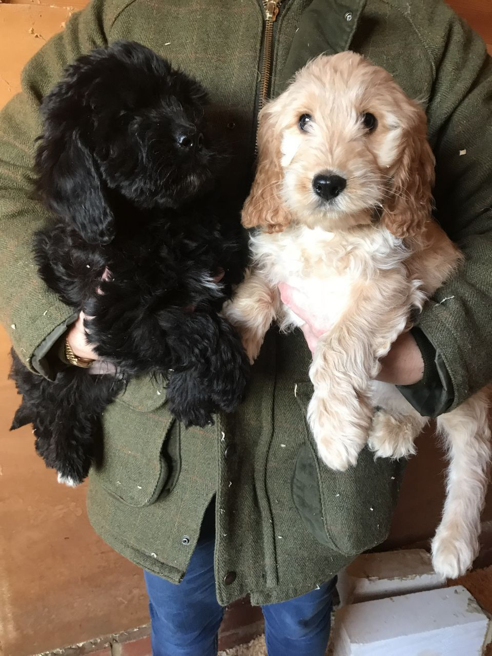 Beautiful Cockapoo Puppies For Sale Cockapoo Puppies Cockapoo