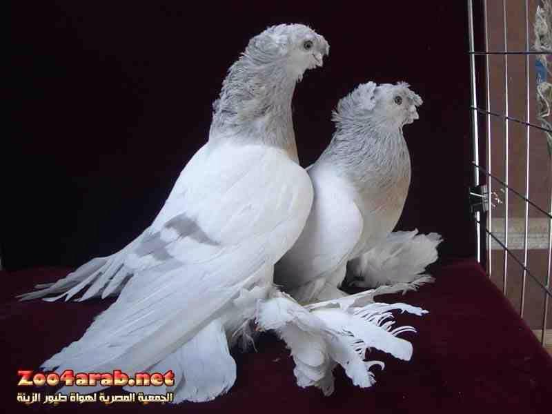 حمام الزينة الروسي Pigeon Pictures Cute Pigeon Pet Birds