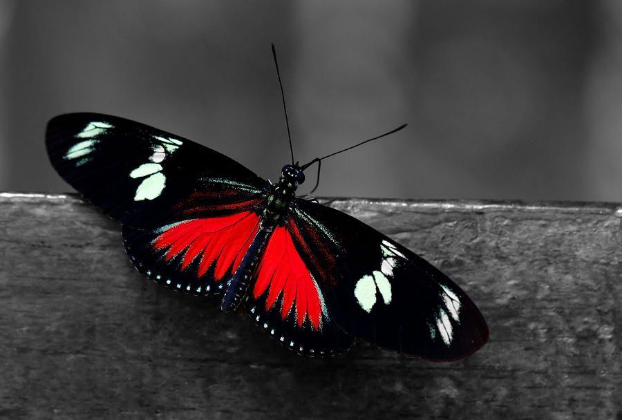 Ebony butterfly