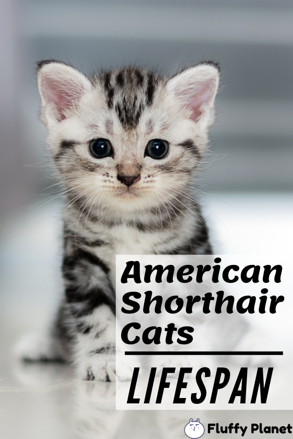 Lifespan Of American Shorthair Cat American Shorthair Cat American Shorthair American Shorthair Kitten