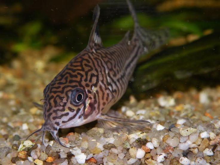 Peppered Corydoras Corydoras Paleatus Aquarium Catfish Catfish Fish Pet