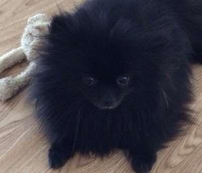 Pomeranian puppy for sale victoria