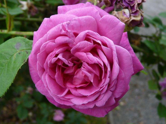 Rosa 'Souvenir de Lucie' (France, 1893)