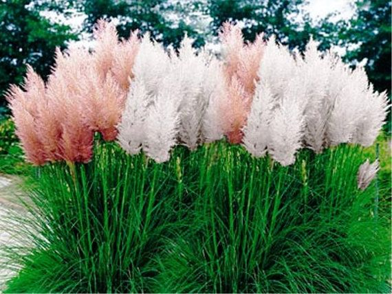 Pampas grass mix cortaderia selloana fast growing for Short growing ornamental grasses