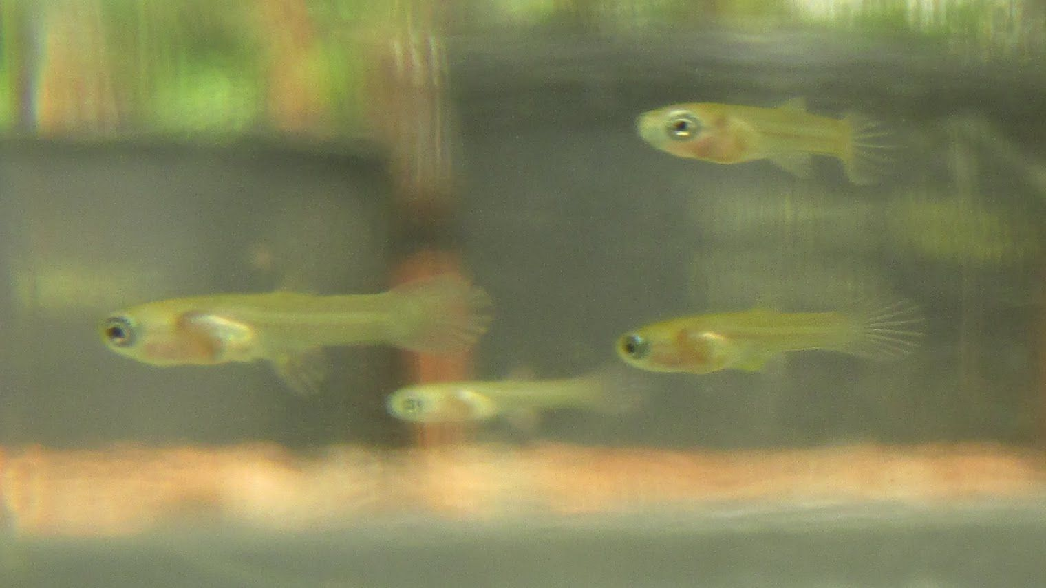 Raising Baby Guppies Care Of Newborn Fry Kaimuki Backyard Guppy Guppy Fish Betta Fish