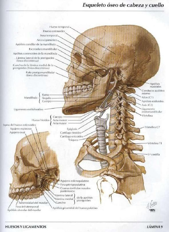ASOTERCI - CASC: Huesos del Craneo y de la Cabeza | Medicina ...