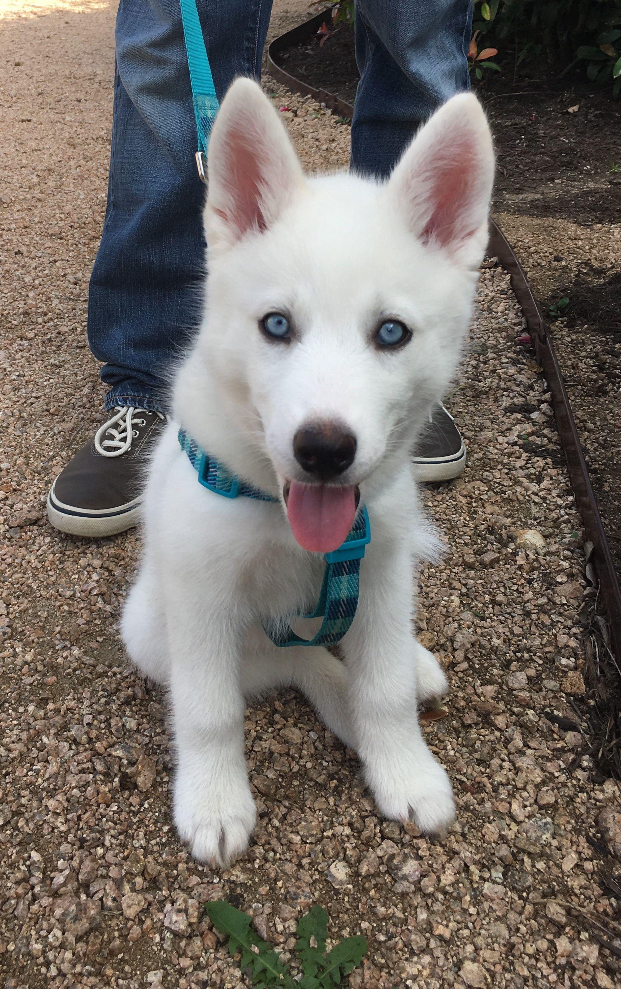 Blue Eyed All White Husky