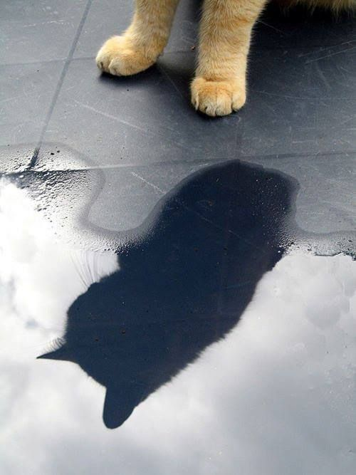 Shadow Cat Cat Furry Cat Shadow