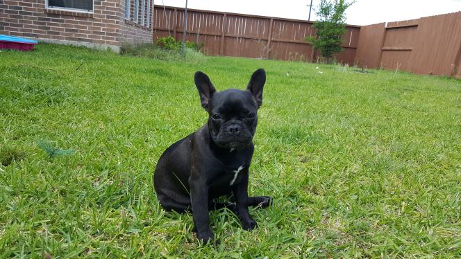 French Bulldog Puppy For Sale In Cypress Tx Adn 29282 On