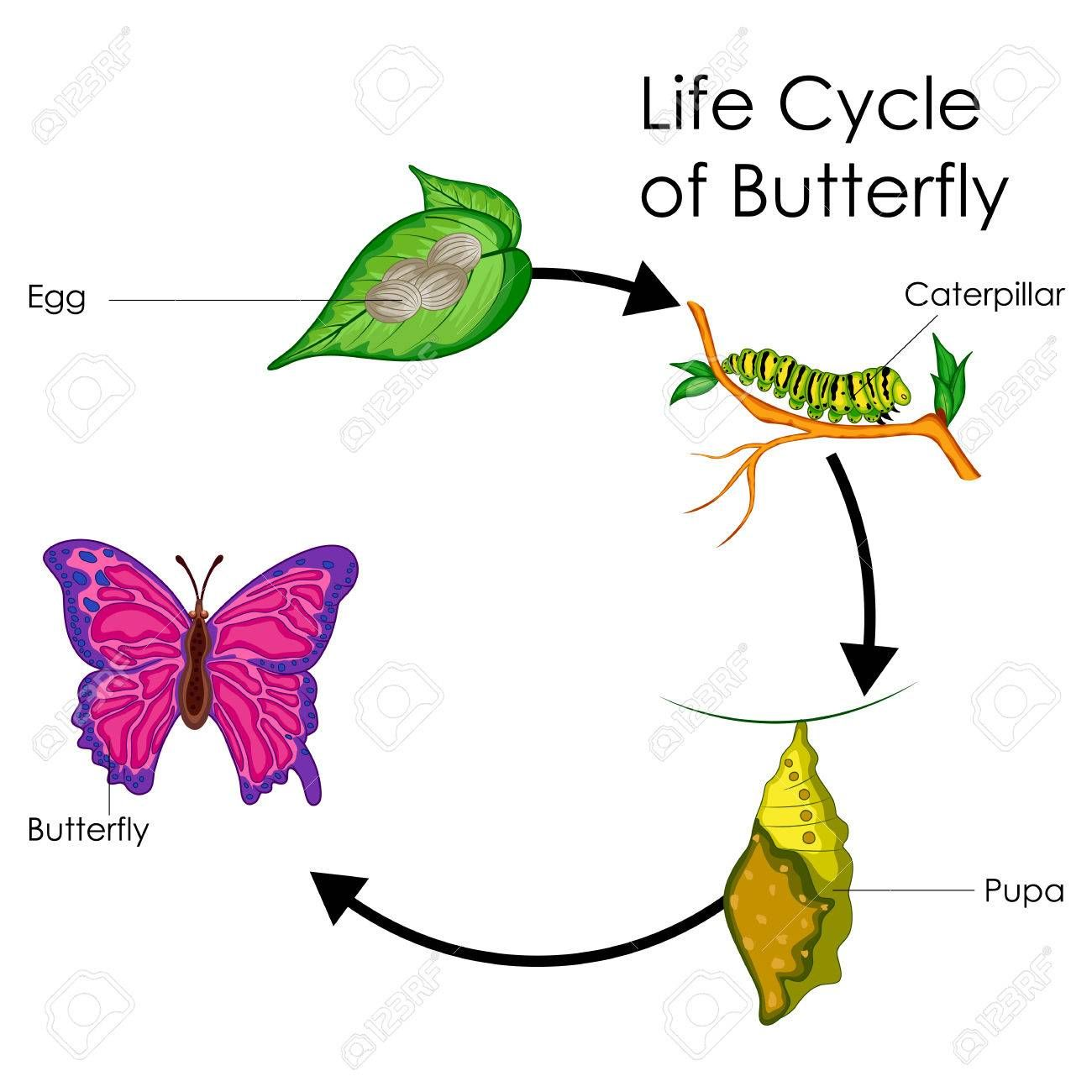 Education Chart Of Biology For Life Cycle Of Butterfly
