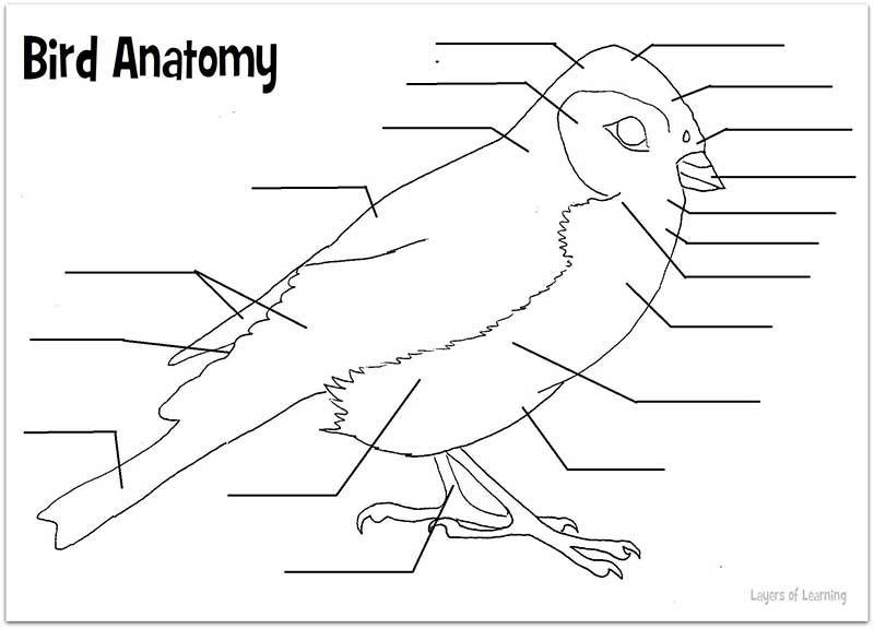 Printable Bird Anatomy Worksheet | Science | Pinterest | Worksheets ...