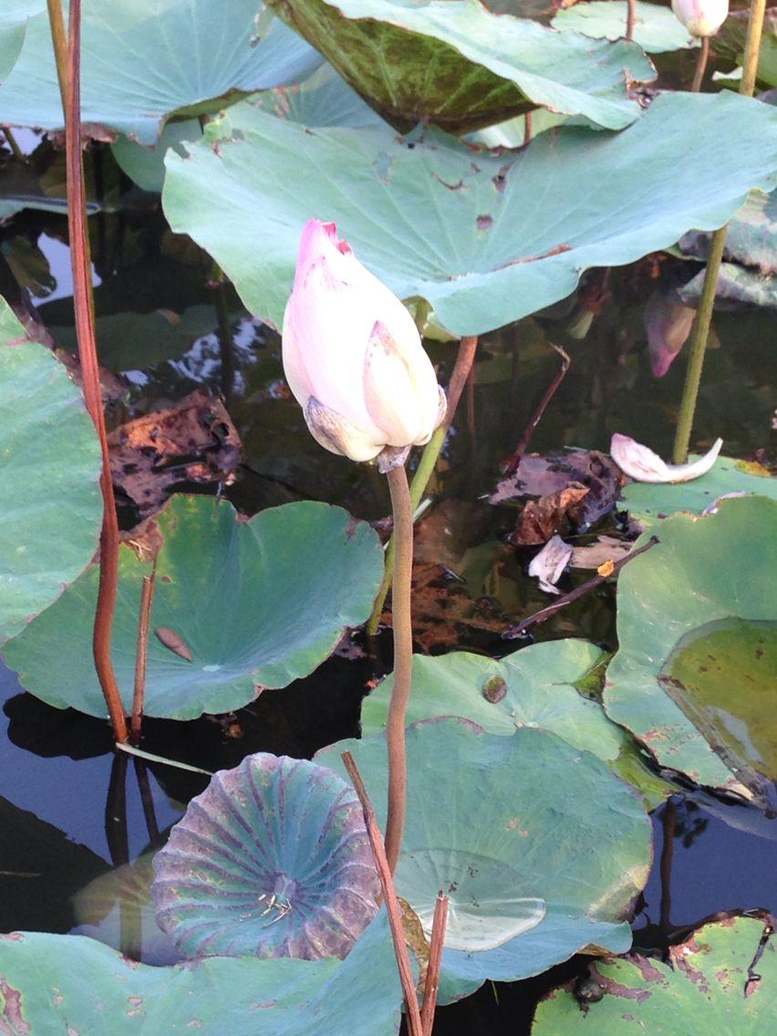 Lotus Flower Teaches Us How To Grow Beautyinthebeast Pinterest