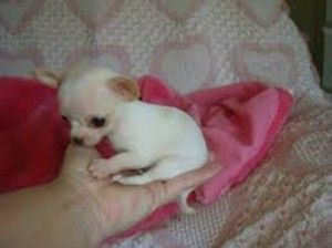 Teacup Puppies For Sale In Los Angeles Chihuahua Puppies For