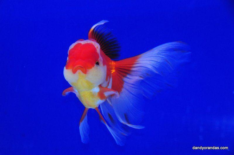 Red White Oranda Dandyorandas Com Bid Active Comet Goldfish Goldfish Fish Pet